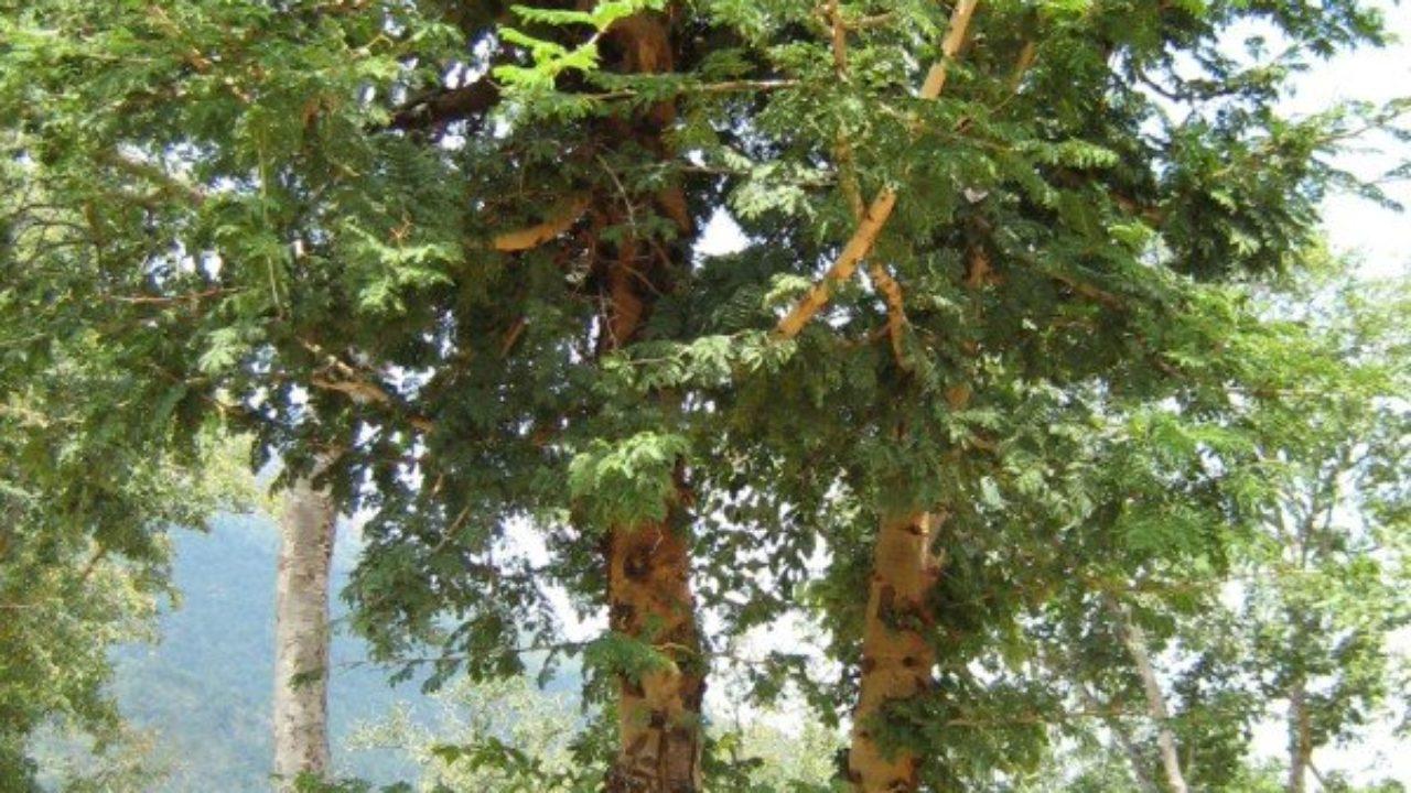Banni Tree - Auspicious during Dasara festival