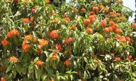 garden-ashok-flower