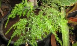 garden-asparagus1_0
