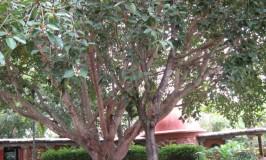 garden-banyan-tree-1