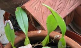 garden-bulbophyllum-acutiflorum-1