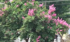 garden-crepe-mertle-pink2