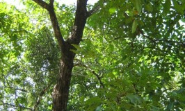 garden-crocodile-bark-tree-goa_0