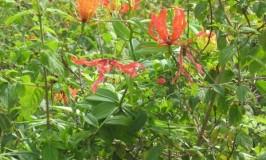 garden-glory-lilly