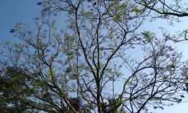 garden-jacaranda10