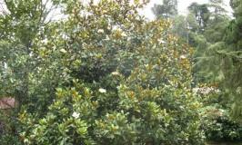 garden-magnolia1
