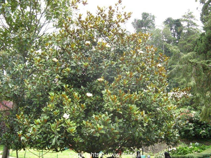 Magnolia Tree Magnolia Flower Gardening Flowering Trees