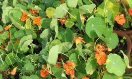 garden-nasturium-1