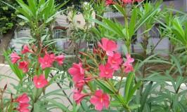 garden-oleander