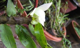 Orchid Dendrobium Aqueum