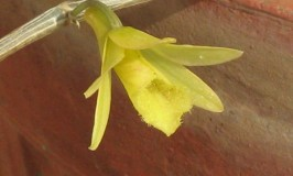 Orchid Leafless Dendrobium