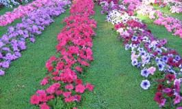 garden-petunia