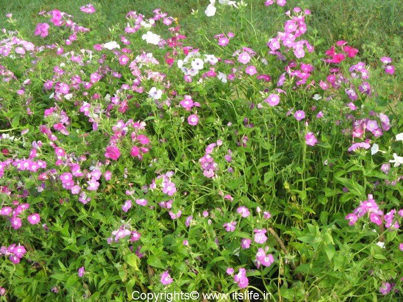 phlox annuals gardening flowers. Black Bedroom Furniture Sets. Home Design Ideas