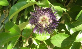 Passion Flower – Passiflora Disemma