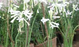 garden-rajanigandha