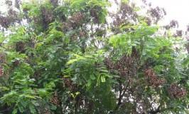 garden-tree-gullgangi3