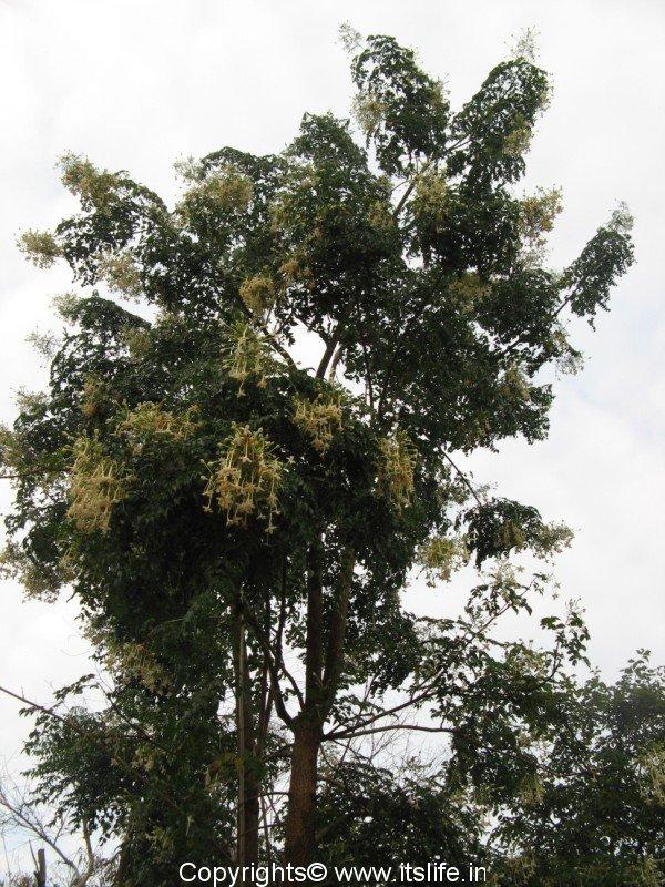 Akash mallige tree indian cork tree gardening trees for Garden trees photos