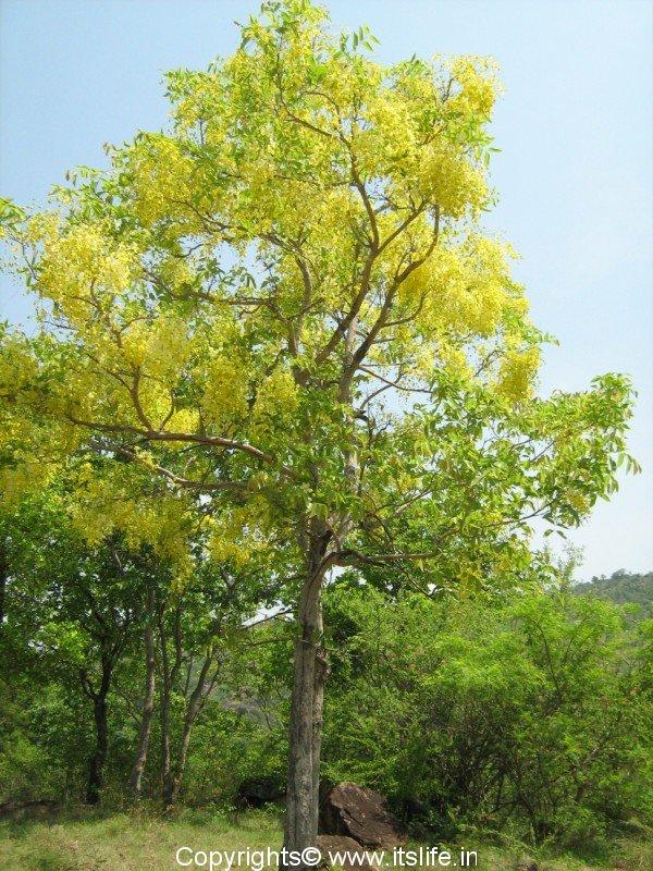 Amaltas | Indian Laburnum | Flowering Tree