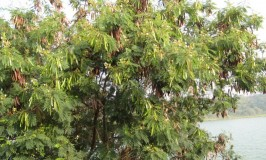 garden-trees-white-popinac-1