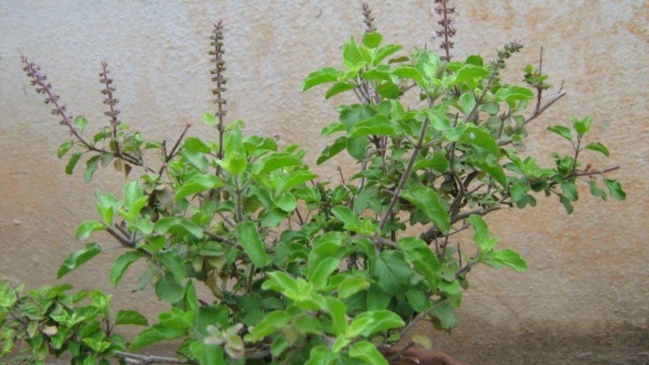 Tulasi | Holy Basil | Ocimum Sanctum | Tulasi Pooja