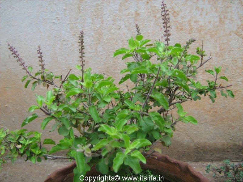 Tulsi Plant Hd Wallpaper: Ocimum Sanctum