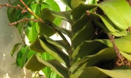 Orchid Aerides Crispum