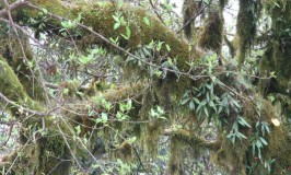 Aeschynanathus Perrottetti – Lipstick Plant