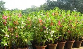 gardening-balsam-new-1