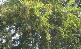 gardening-bilva-tree