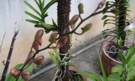 gardening-dendrbium-midnight-velveth1