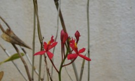 gardening-epdendron1