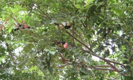 Grow Curry Leaves Tree