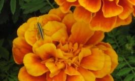 gardening-marigold-2