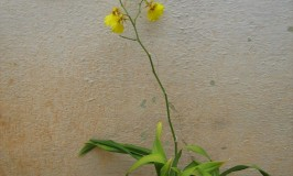 Gower Ramsey Orchid Oncidium