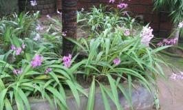 gardening-orchid-spathaglottis-plicata-2