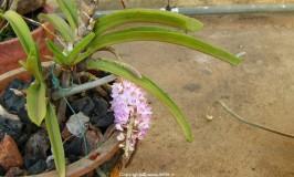 Orchid Rhynchostylic Retusa
