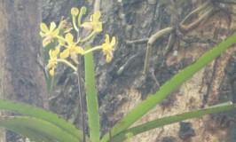 Orchid Vanda Testacea