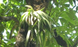 Orchid Oberonia