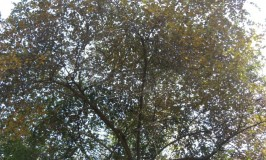 Ber the Indian Jujube Tree