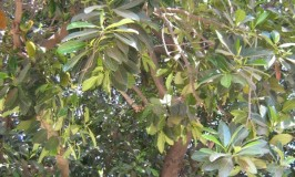 gon-jackfruit-tree