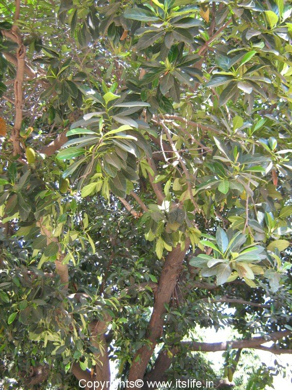 essay on jackfruit tree in kannada