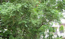 goodness-of-nature-curryleaves-tree