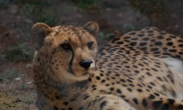 Cheetah in Mysore Zoo
