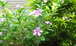 Madagascan Periwinkle
