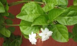 Jasminum Grandiflorum – Mysooru Mallige