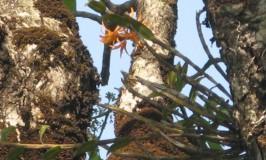 orchid-dendrobium-nutantiflorum-3
