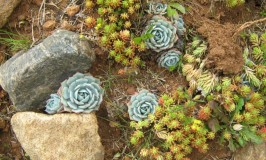 sacculent-garden