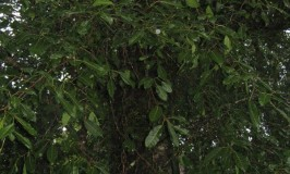 travel-keala-chain-tree-2