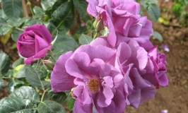 travel-ooty-rose-garden1