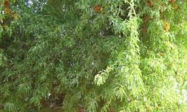 trees-roheda-5